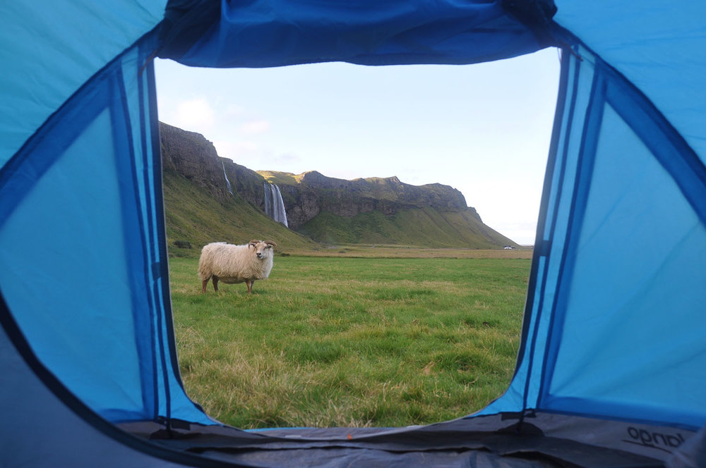 Tent Morning View at Seljalandsfoss with Sheep Iceland