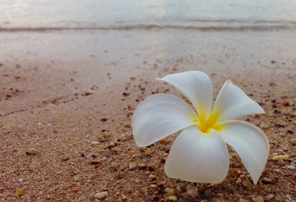 Frangipani on the beach