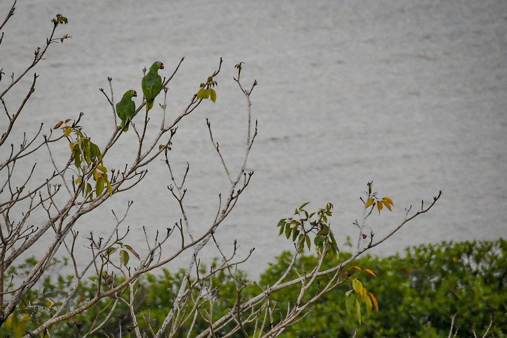 Bocas Del Toro Tranquilo Bay Green Macaws