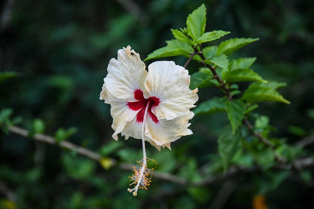 Bocas Del Toro Tranquilo Bay White Flower
