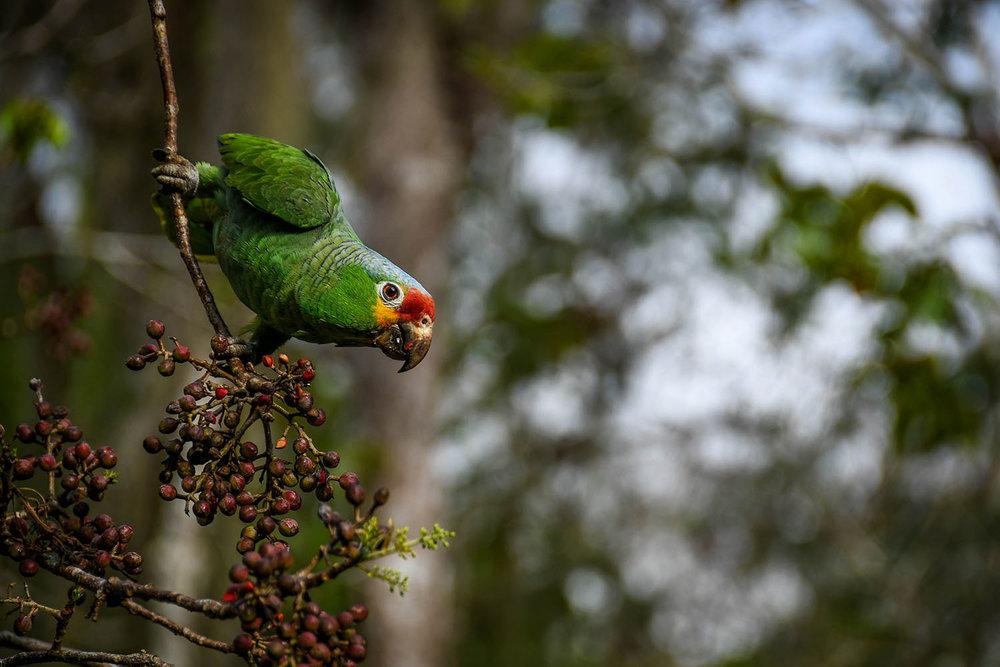 Visit Tikal Guatemala Macaws