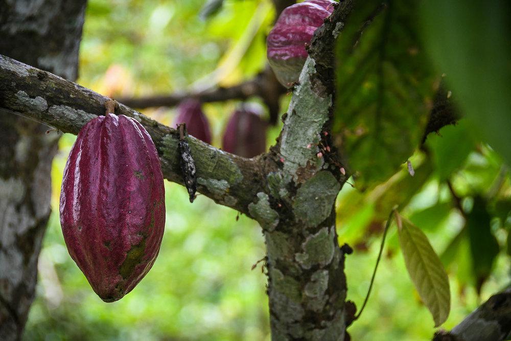 Bri Bri Indigenous Village Tour cocoa fruit