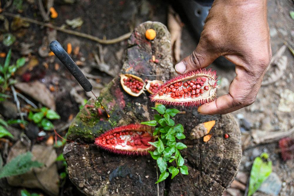 Bri Bri Indigenous Village Tour Red Dye Fruit