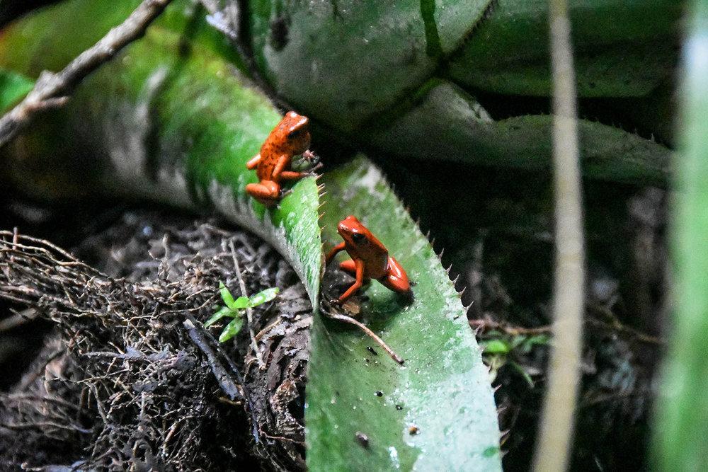 Bri Bri Indigenous Village Tour Dart Frogs