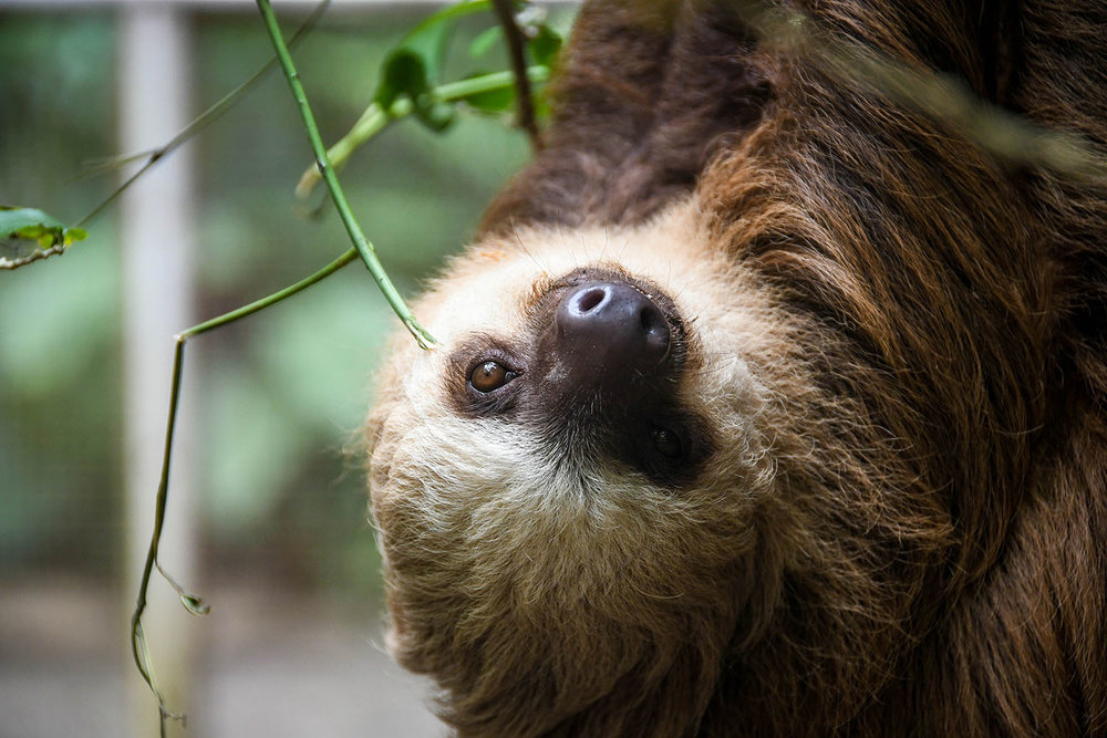 Puerto Viejo Travel Guide Sloth