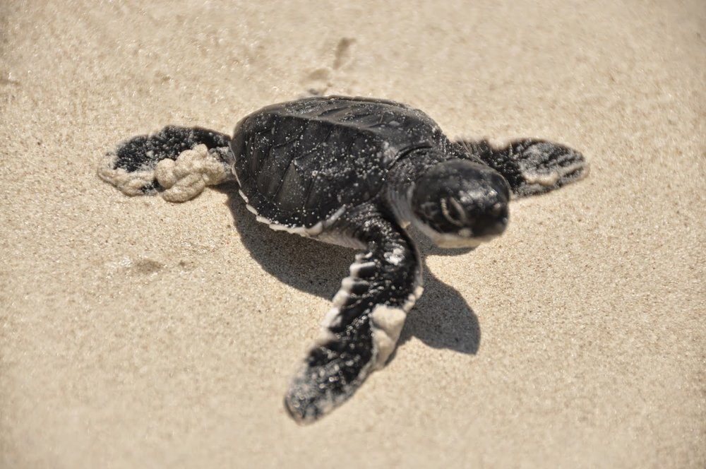Things to Do in Costa Rica: Observe Baby Sea Turtles