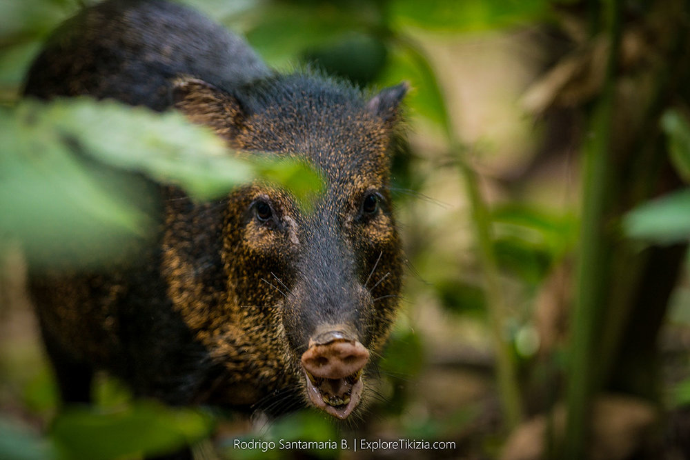 Things to Do in Corcovado National Park: Warthog