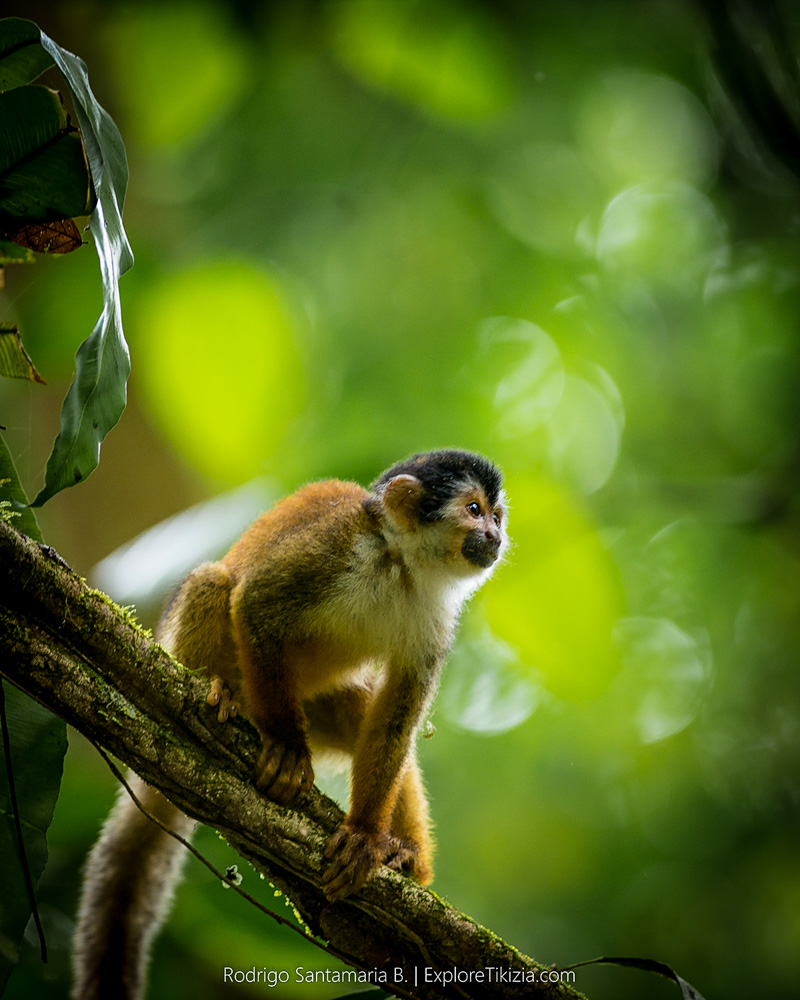 Things to Do in Corcovado National Park: Monkey in the tree