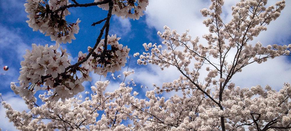 South Korea Travel Guide: Cherry Blossoms