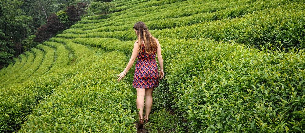 South Korea Travel Guide: Green Tea Fields