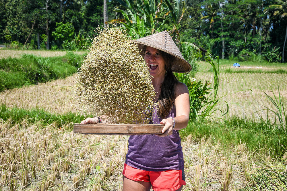 Things to do in Bali harvesting rice