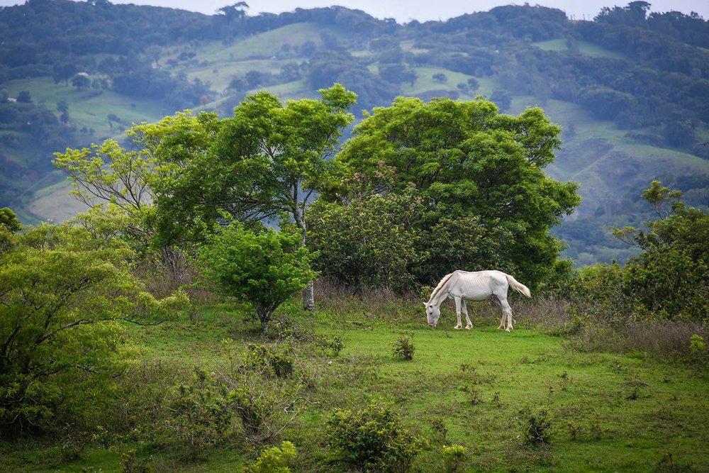 Renting a Car in Costa Rica White Horse in Field