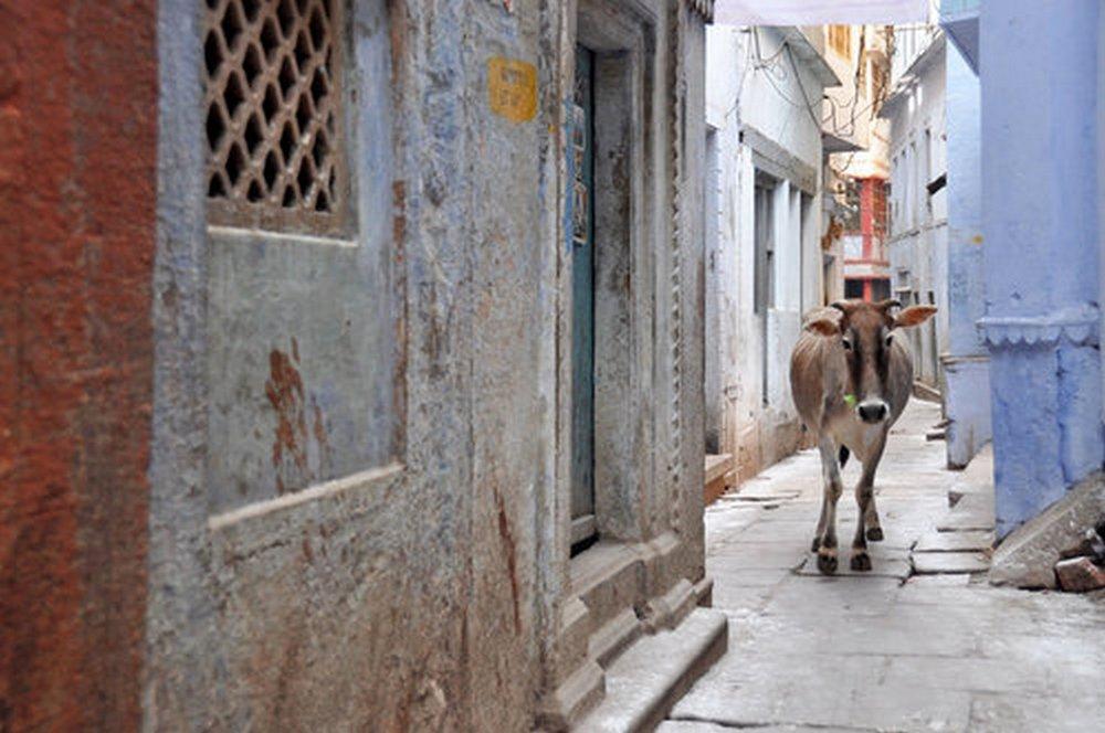 Cow+in+Alley.jpg