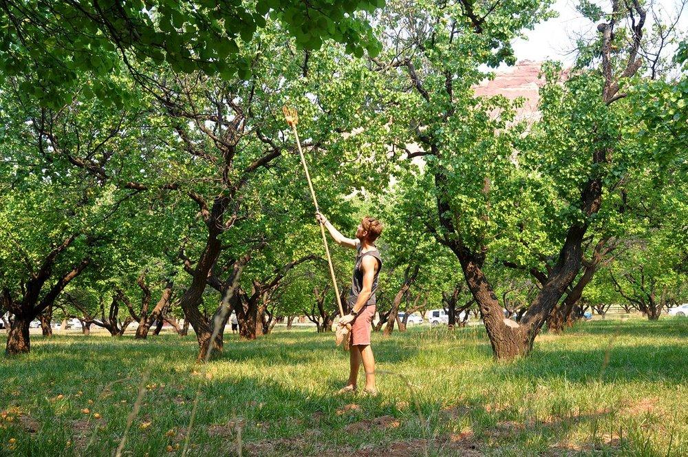 Apricot Picking Fruita Capitol Reef National Park