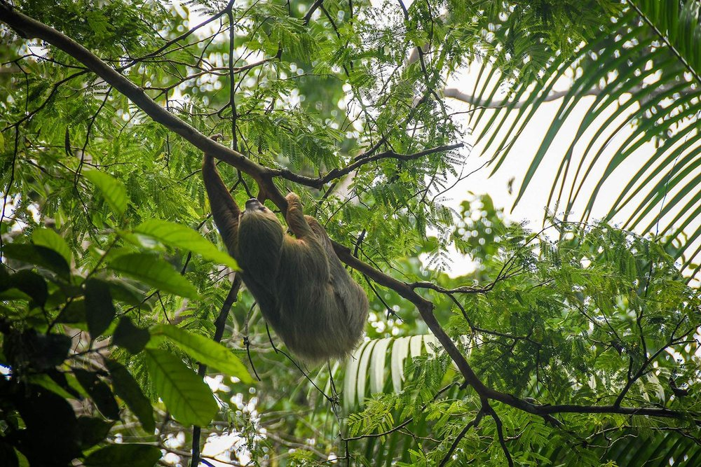 Things to Do in Costa Rica See Sloths
