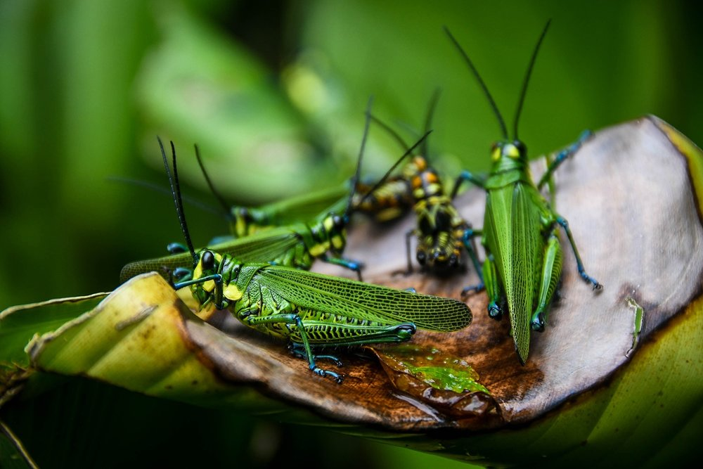 Things to do in Arenal Costa Rica Rio Celeste Grasshoppers