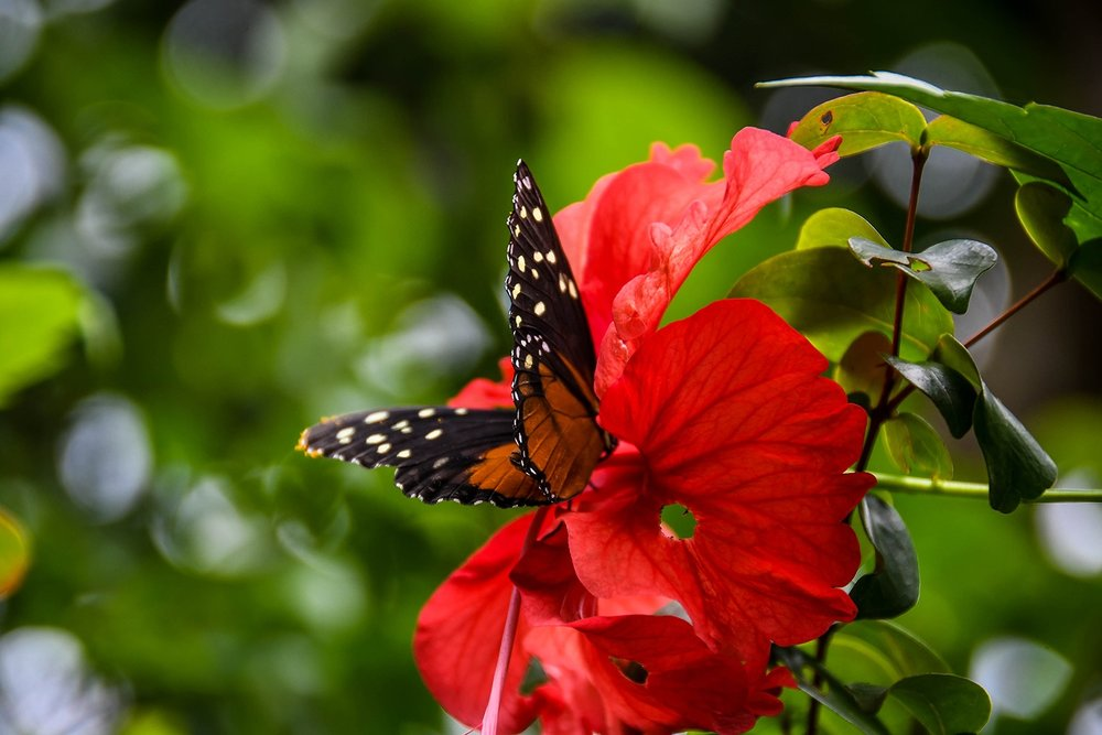 Rancho Mastatal Sustainable Lodge Butterfly on Red Flower