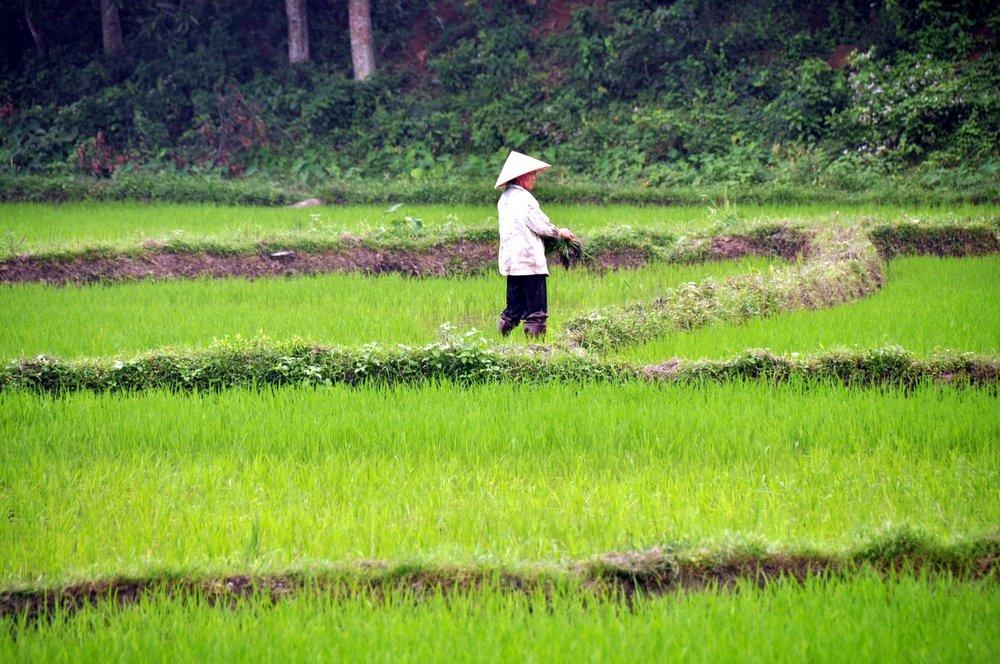 Green Rice Fields Vietnam Visa On Arrival