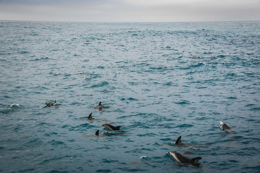 Swimming with Dolphins Kaikoura New Zealand