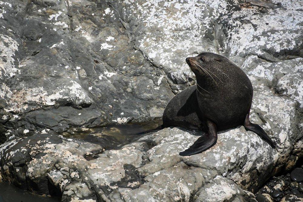 South Island New Zealand Itinerary Seal Colony Tauranga Bay