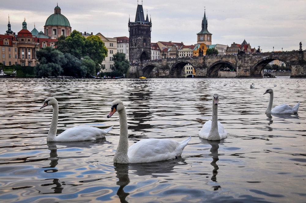 Things to do in Prague Vltava Swans