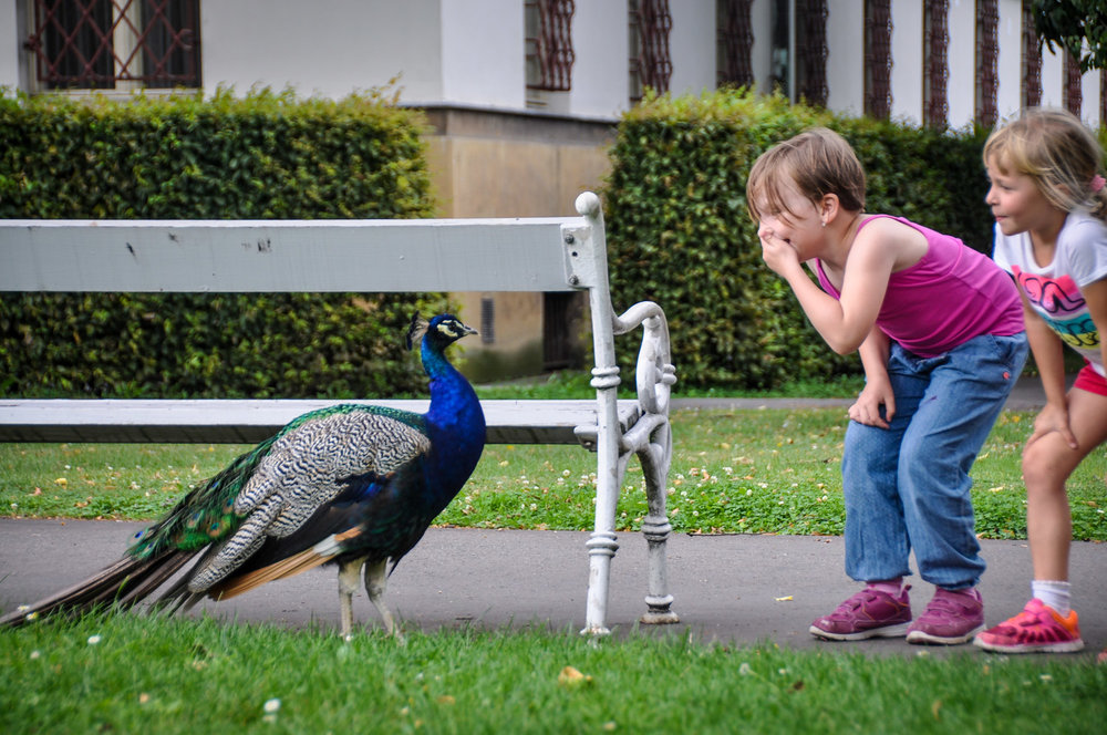 Things to do in Prague Peacocks