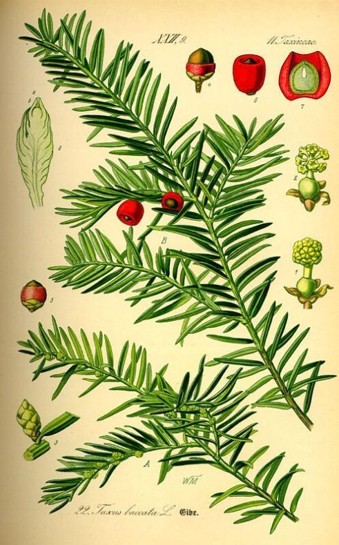 Pacific Yew Tree.  Taxus Brevifolia