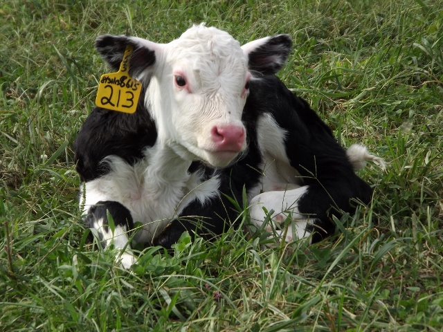 New born Black Hereford