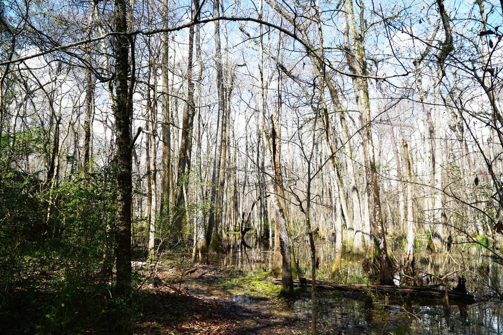 The swamps of Baton Rouge, LA.