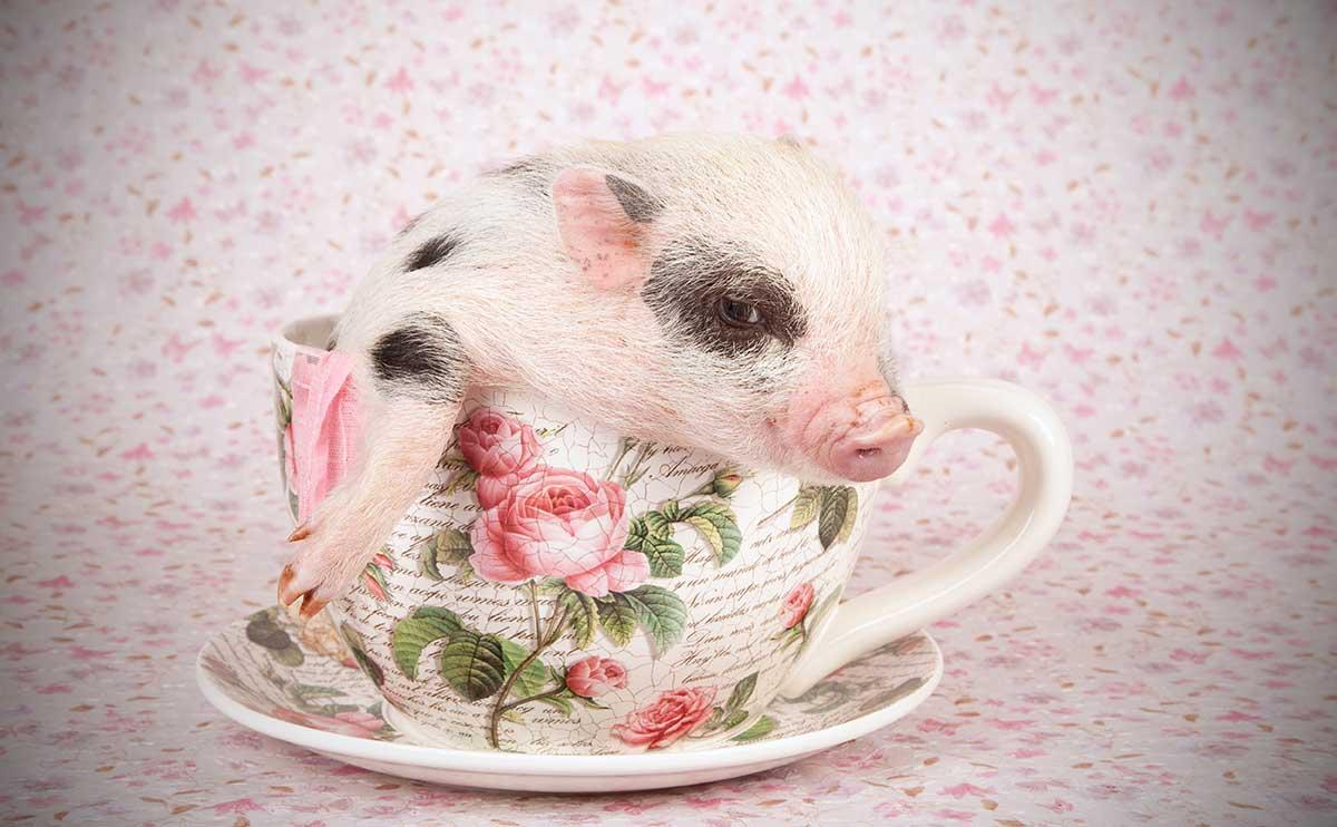 teacup-pig-hero