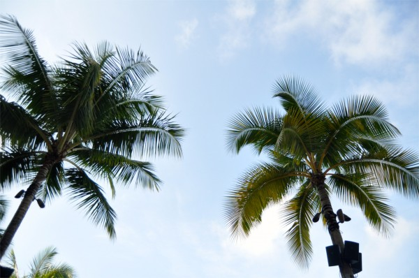 oahu_palmtrees