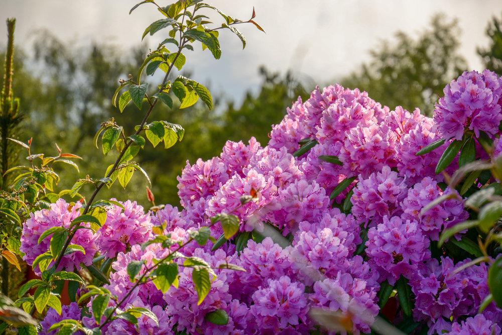 Arboretet_RhododendronKulti_366113.jpg