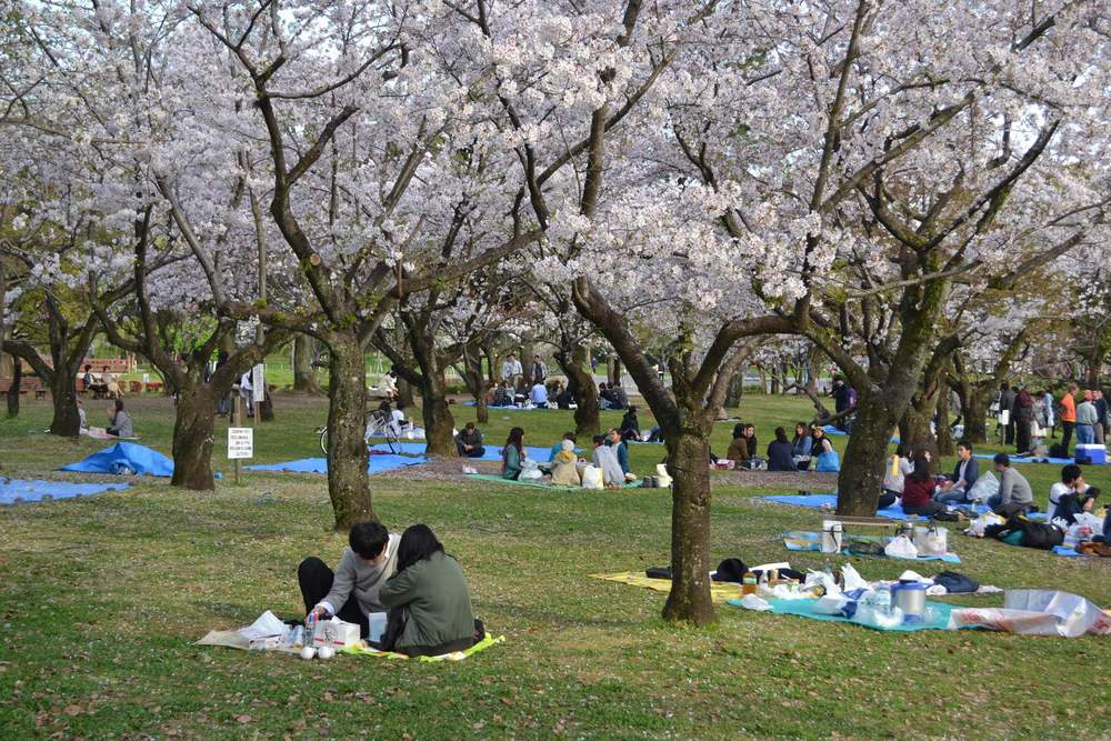 Picnics under the cherry blossoms at Sumpu Castle Park.