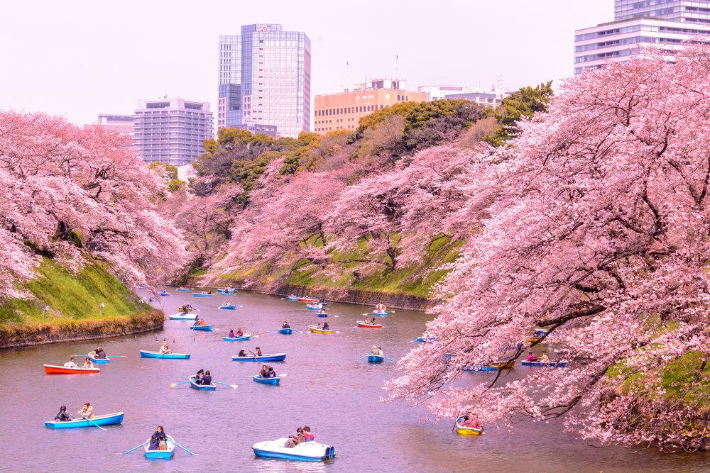 Chidori-ga-fuchi, Kitanomaru Park at Chiyoda-ku in Tokyo. Image by:  Yoshikazu TAKADA