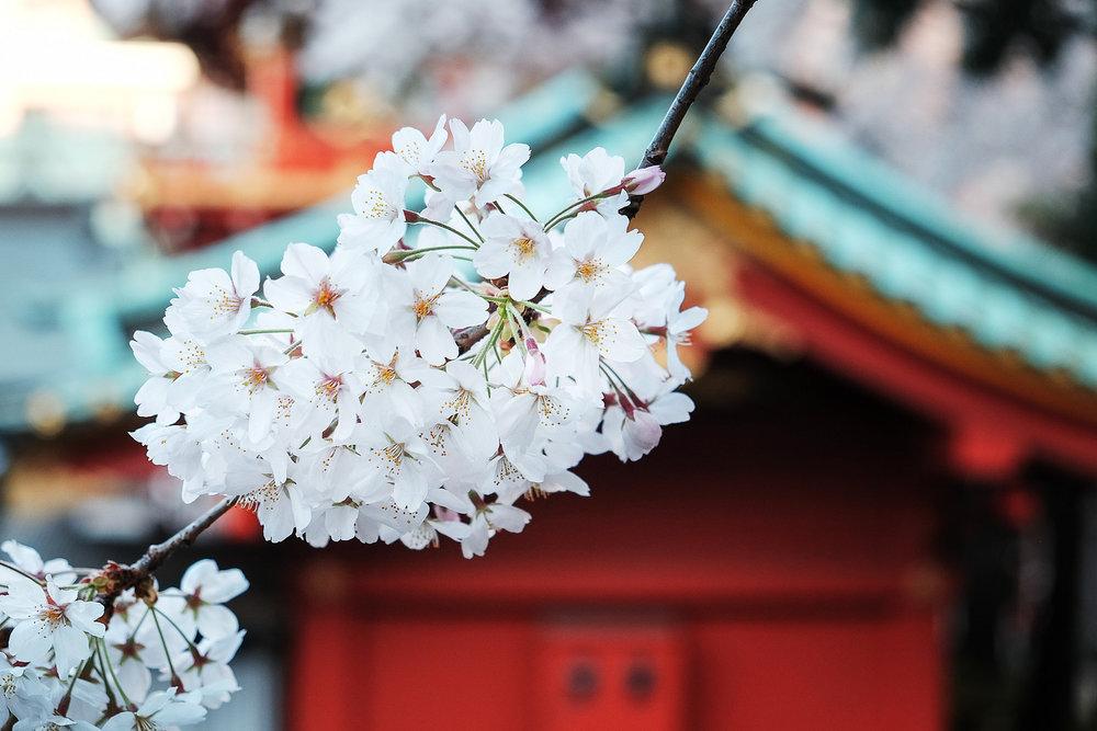 Sakura at Kanda Shrine. Image by: James Justin