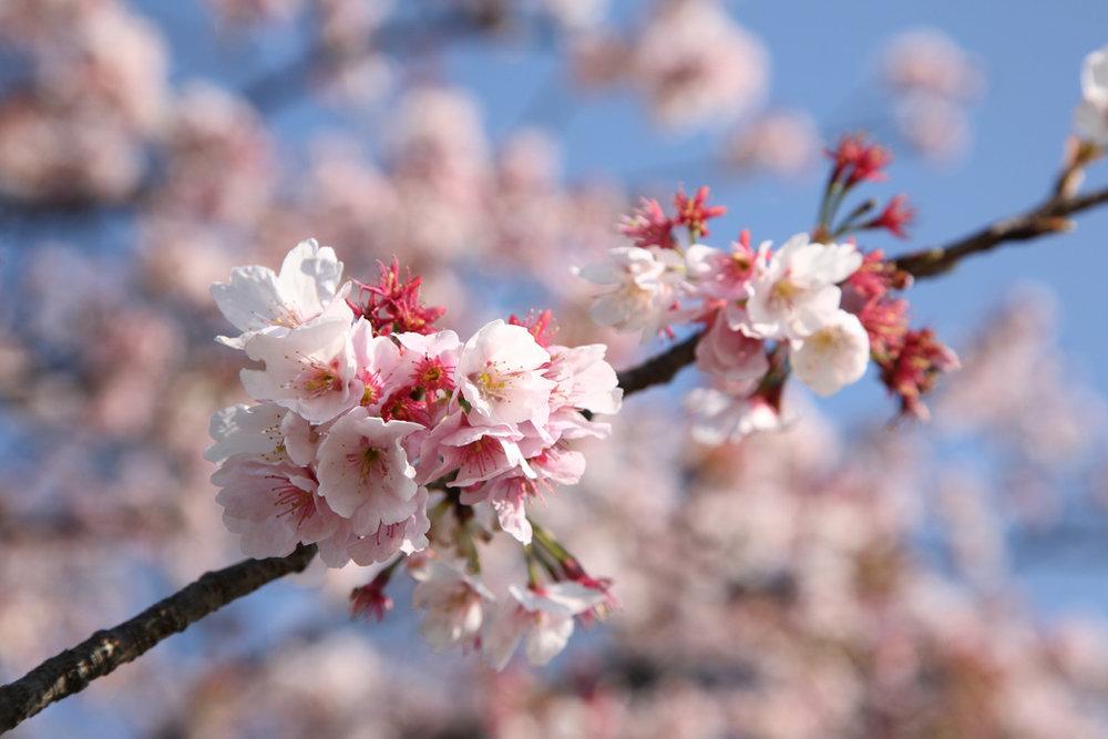 Sakura blooming. Image by:  Mr Hayata