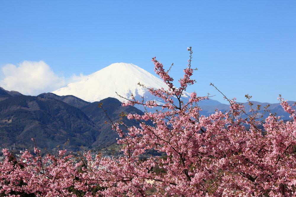 Sakura against a backdrop of Fuji-san Nishi-Hirabatake Park. Image by:  TANAKA Juuyoh