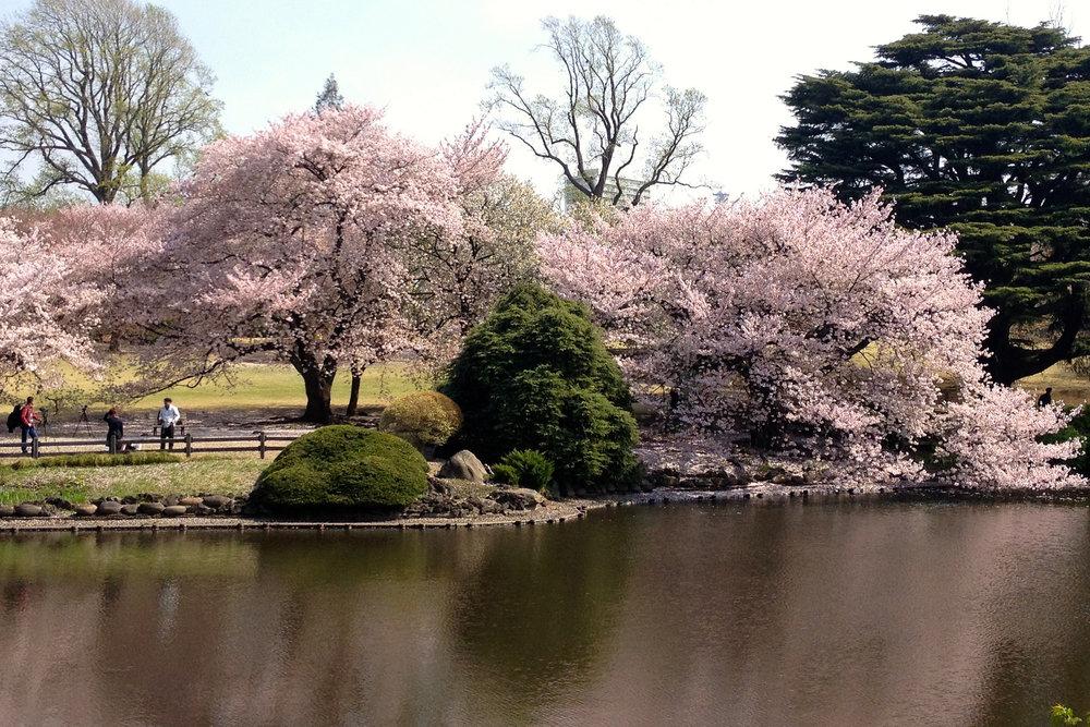 Sakura at Shinjuku-gyoen, Tokyo. Image by:  Amy Jane