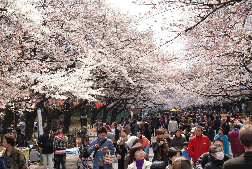 Hanami and cherry blossom viewing. Image by:  Luca Mascaro