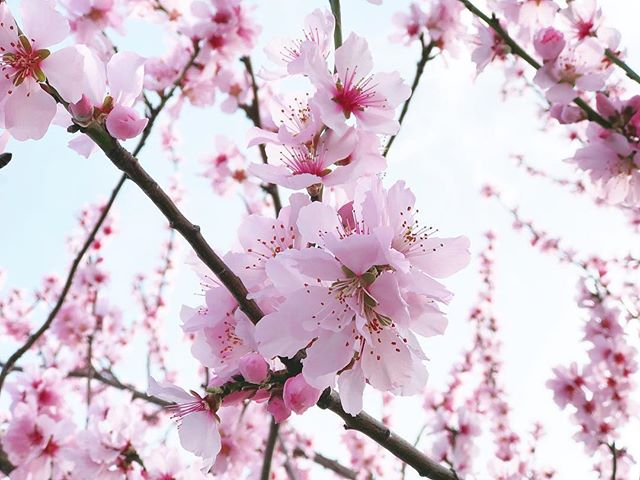 The blossom is blooming here in the UK! #sakura season is just around the corner 🌸🌸🌸 tag us in your blossom pics!