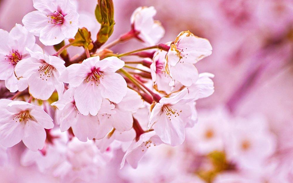 Fort Wayne Cherry Blossom Festival 2017.