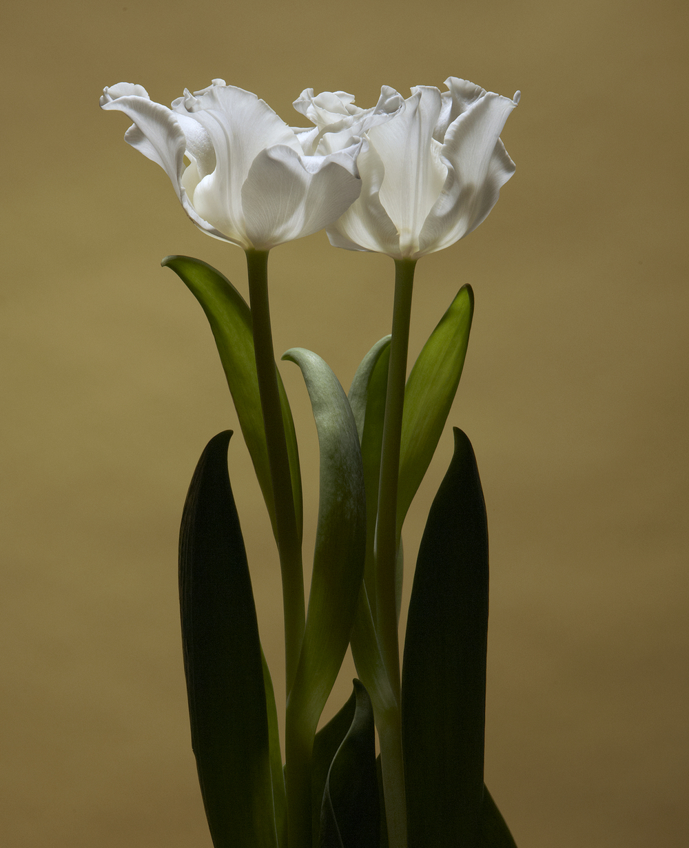 TULIPS SMALL WHITE DOUBLE.jpg