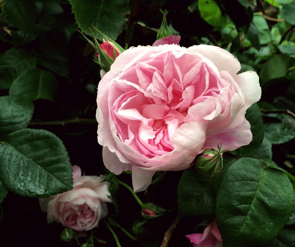 Fantin Latour Rose