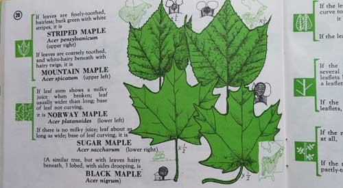 20170323_maple_leaves.jpg