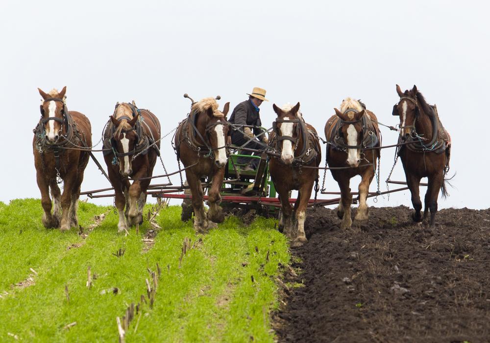 a.big.amish.horse.spring.garden.1Q5A0258.jpg