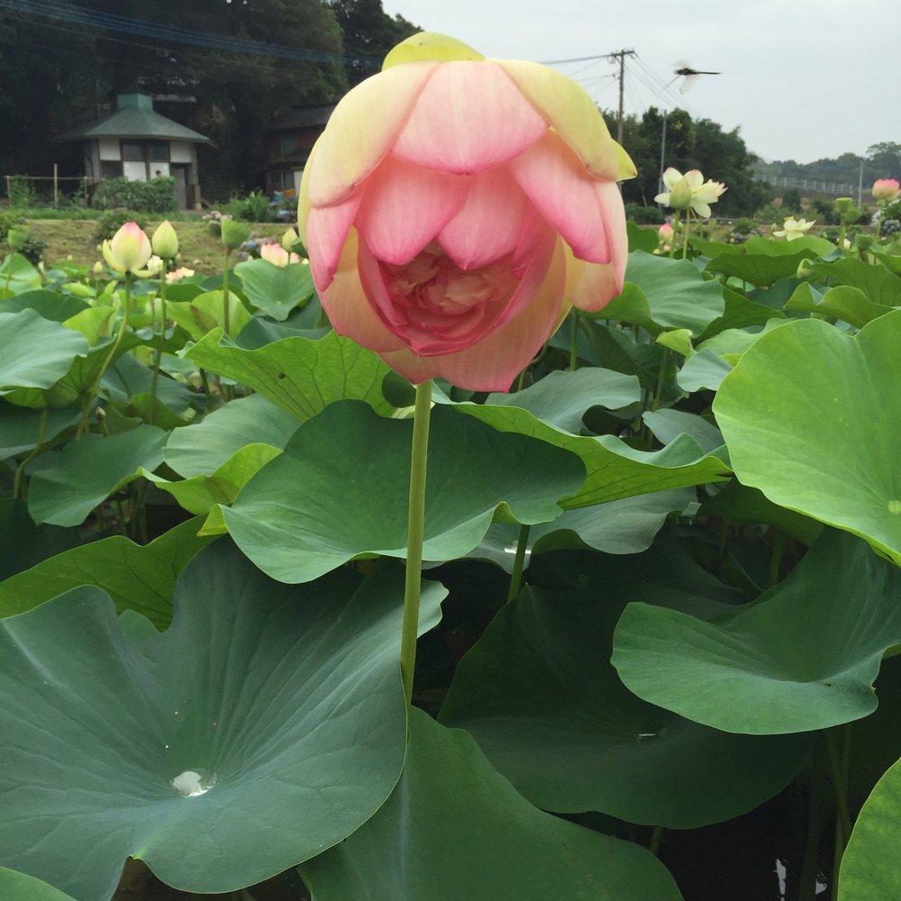 Lotus Flower / 蓮の花もちょうど満開!