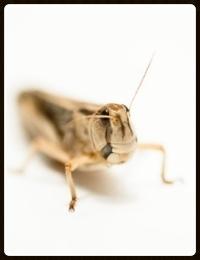 MacMillan.coverart.locust.vm
