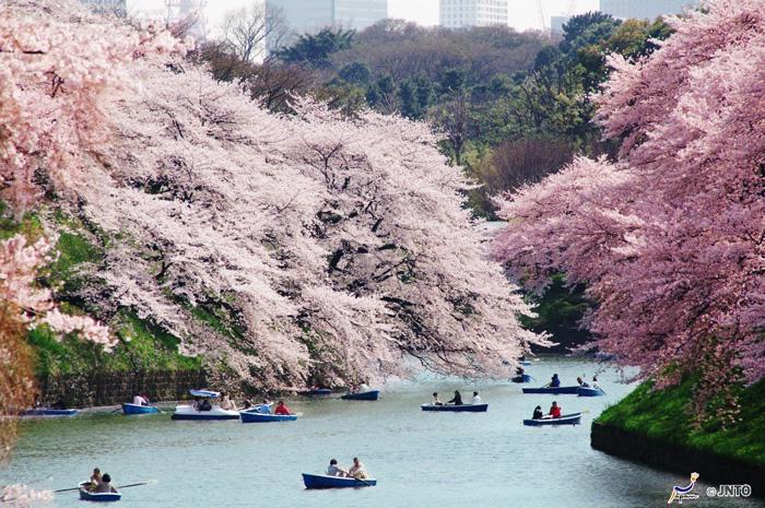 Chidorigafuchi, Tokyo. ©Yasufumi Nishi/ ©JNTO, link: Visit Japan International
