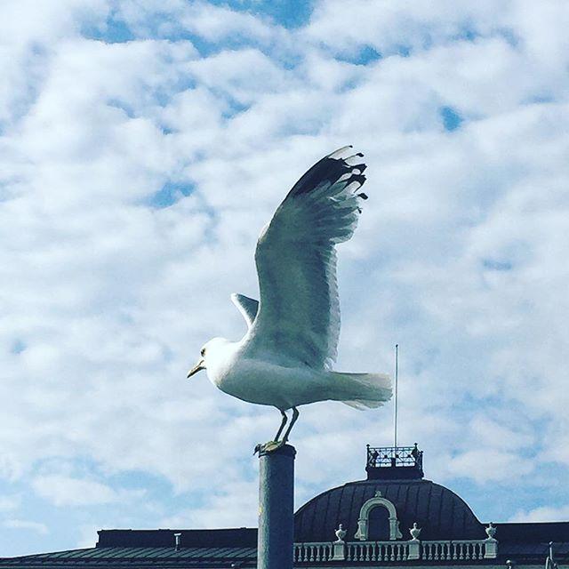 Market square seagulls  #seagull #birds #city #helsinki #helsinkiofficial #soundinspiration #cloudy #summer #soundshade