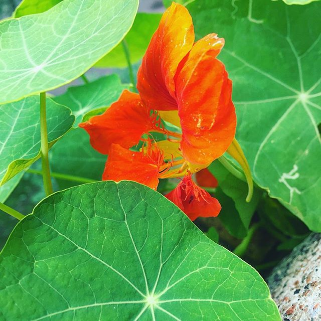 Pumpkin orange  #balcony #relaxing #garden #nature #plant #pumpkin #orange #flowers #soundshade